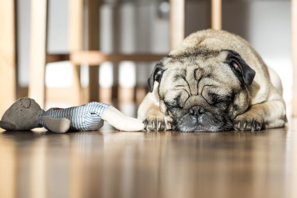 dog, sleeping, pet, animals, toy