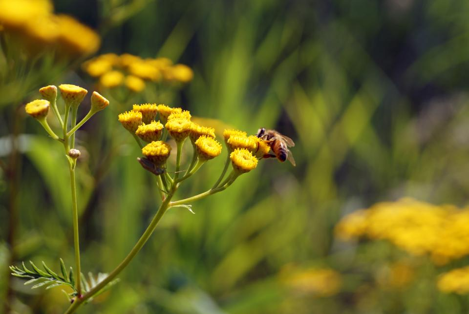 bumble bee, insect, nectar, flowers
