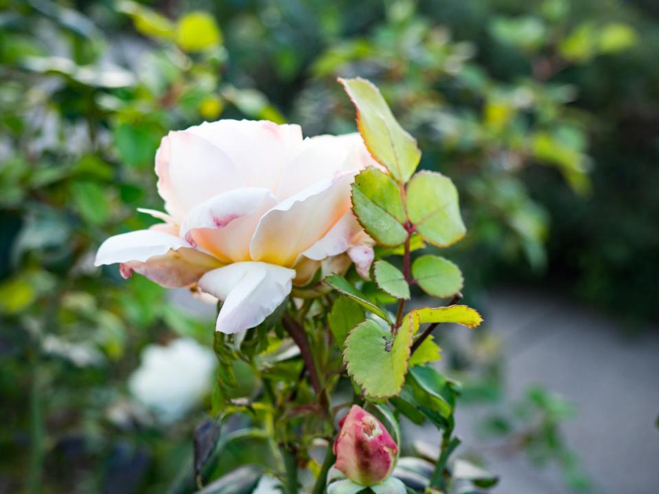 white roses petal flower garden nature plant outdoors blur