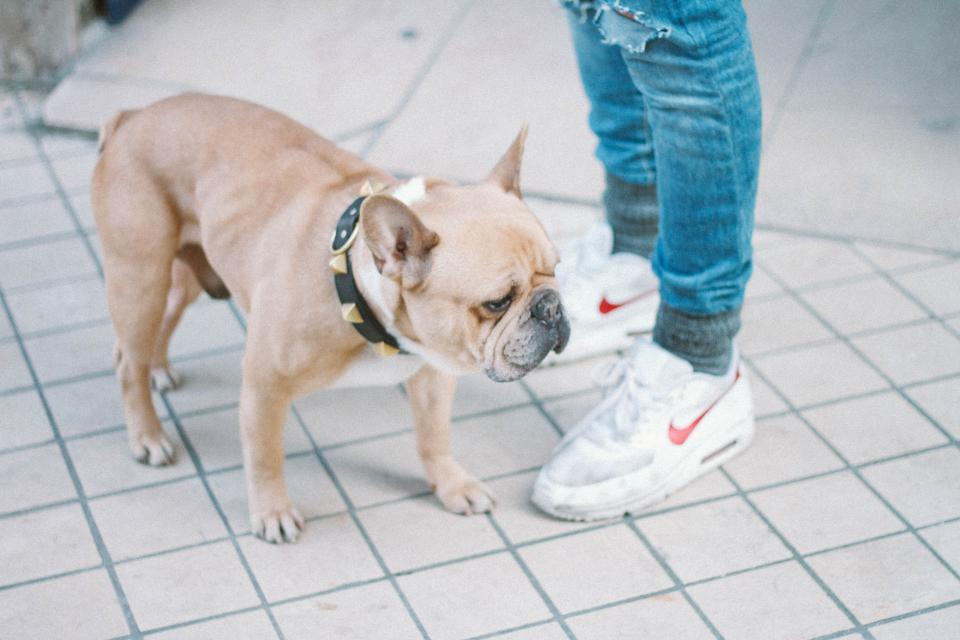dog, collar, spikes, pet, animal