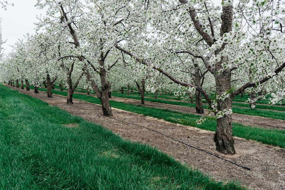 trees, blossoms, grass, field, nature, soil