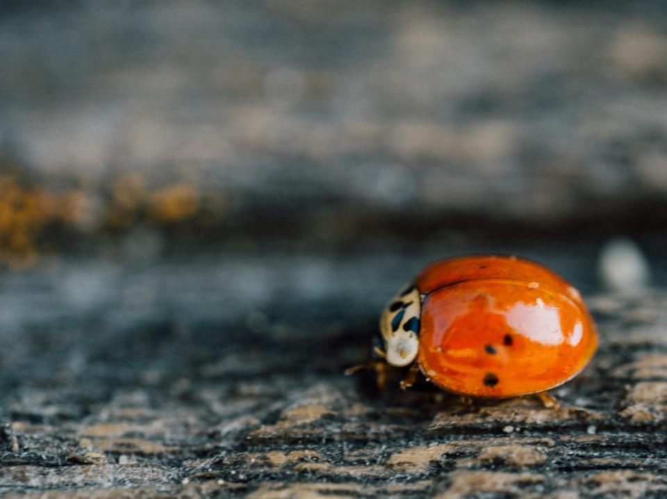 ladybug, ladybird, insect, nature