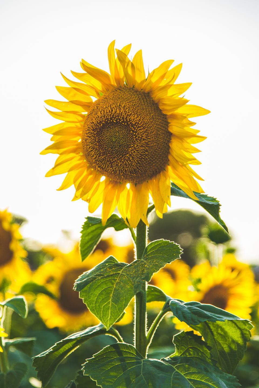 sunflower, yellow, petal, field, farm, garden, nature, plant, sky