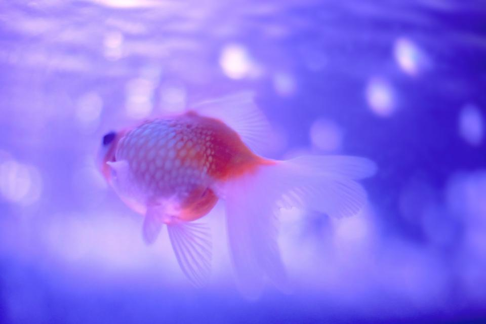 animals, fish, marine, life, goldfish, underwater, still, bokeh