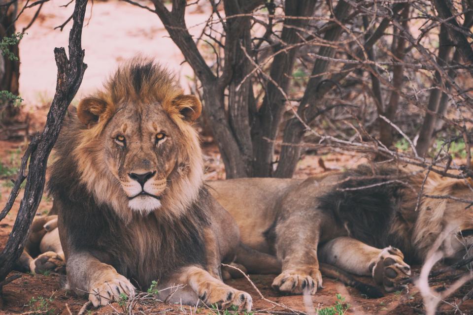lion, tiger, wildlife, forest, woods, brown, cat, fur, sleep, leaves, fierce, carnivore