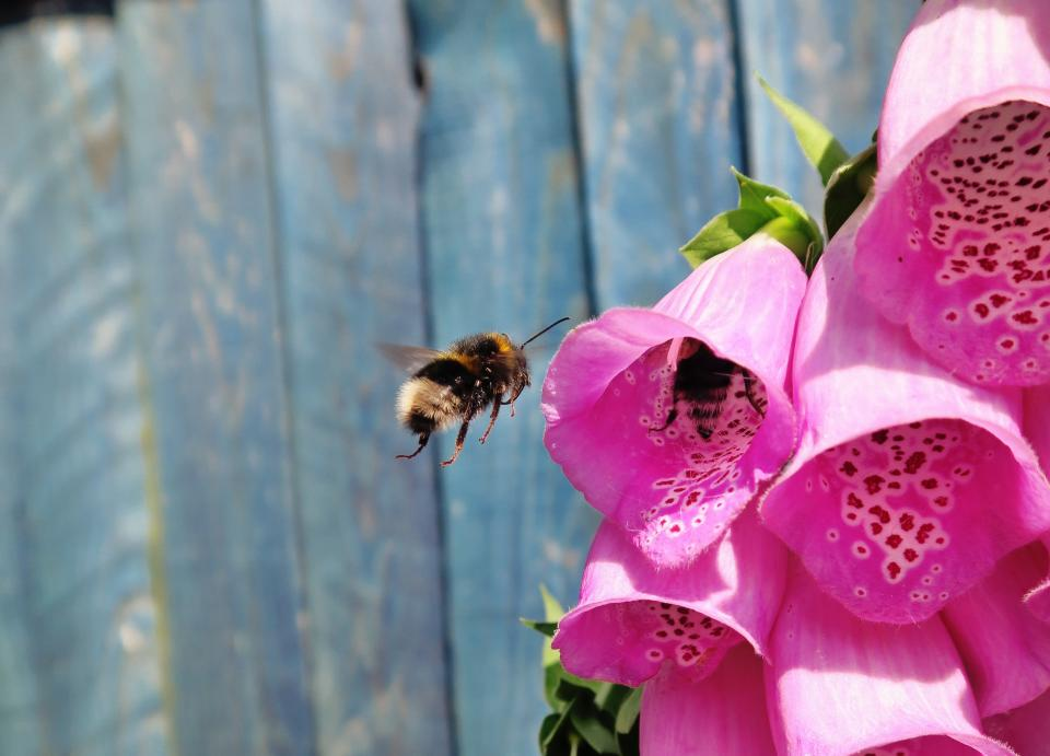 bee, insect, pink, flower, nature