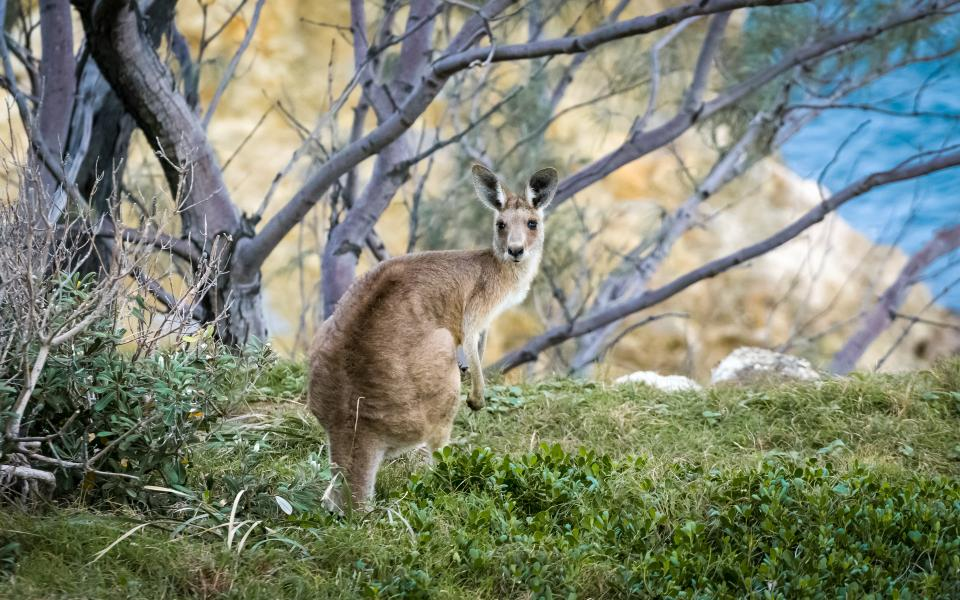 kangaroo animal nature wildlife green grass outdoor tree woods branch forest