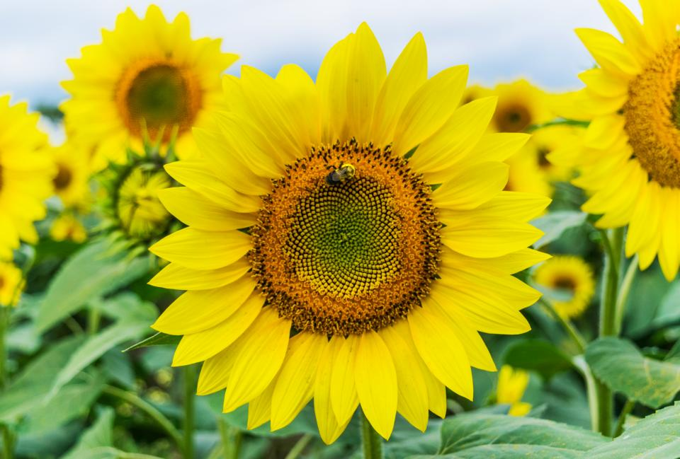 sunflower, yellow, petal, plant, nature, bee, insect, garden, field