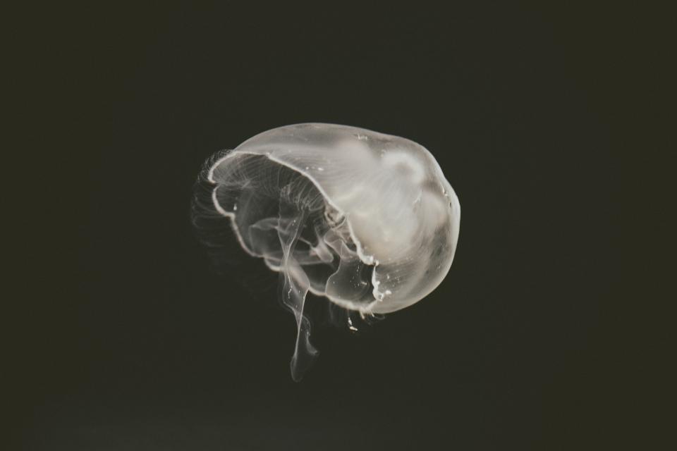jellyfish, aquatic, animal, ocean, underwater, black and white