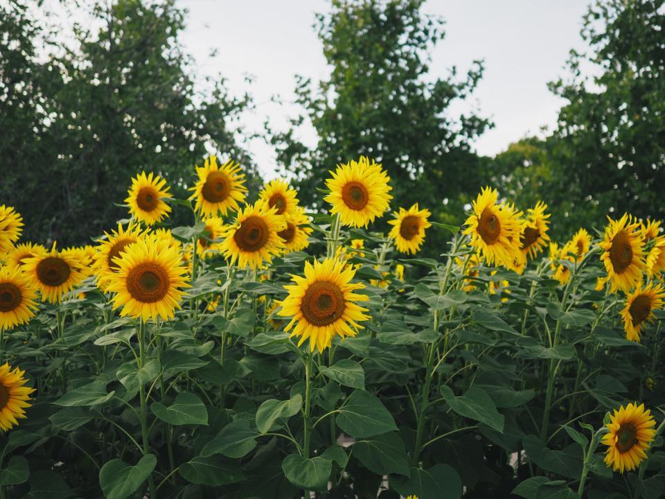 sunflower, yellow, petal, field, farm, garden, nature, plant, sky, trees, outdoor