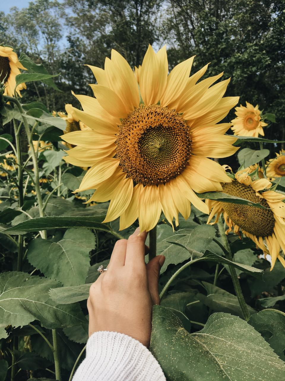 sunflower, yellow, petal, field, farm, garden, nature, plant, sky, trees, hand