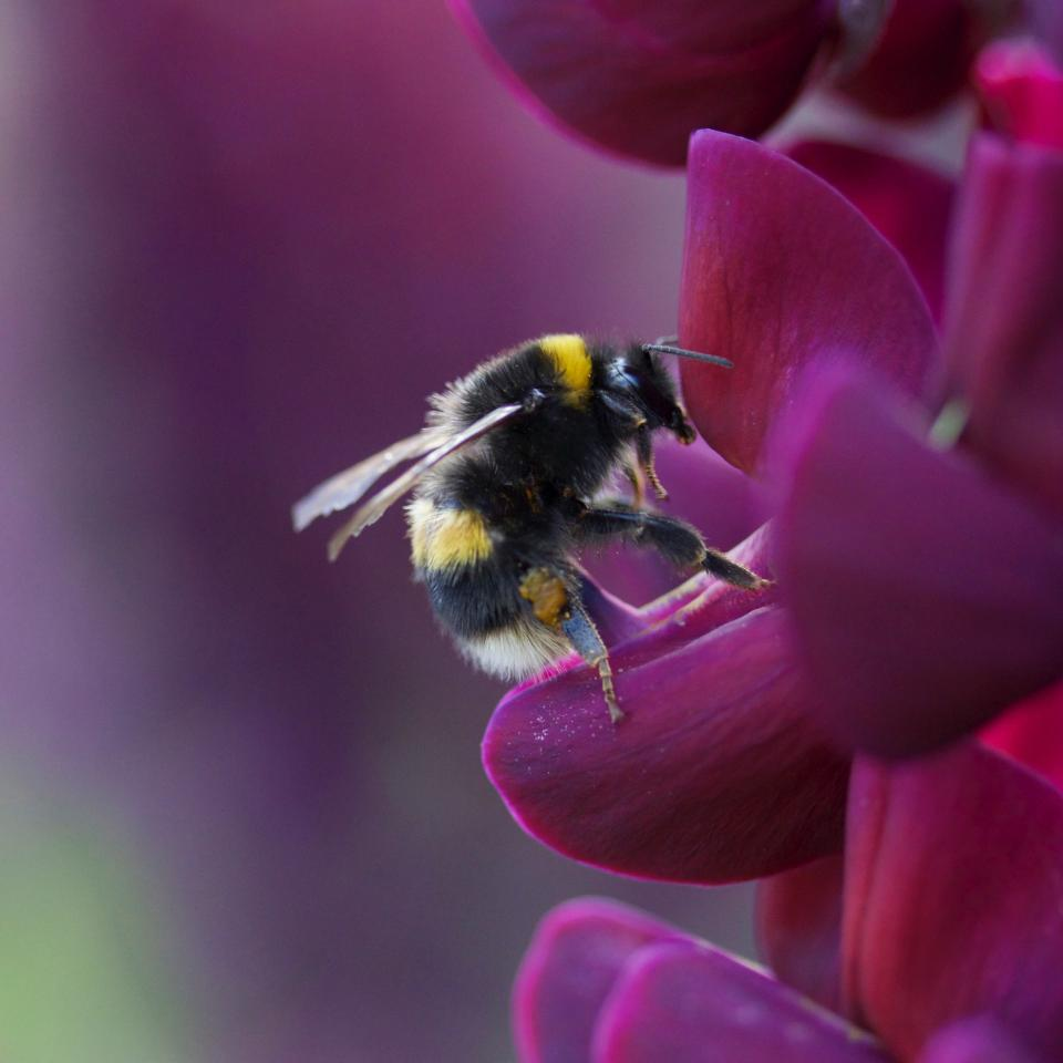 flower, violet, petal, bloom, garden, plant, nature, autumn, fall, insect, bee, macro, close up, nectar, pollen