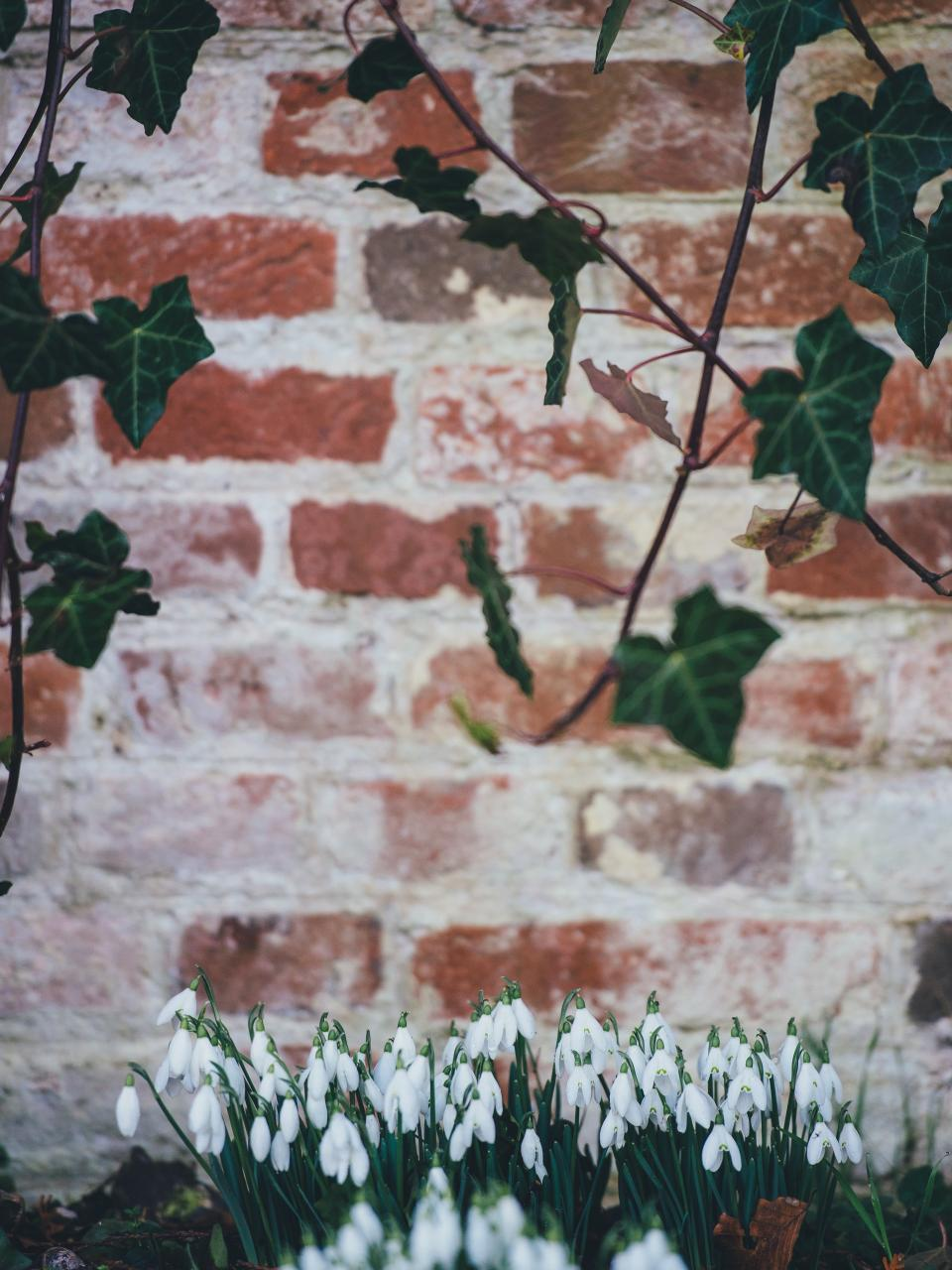 plants, flower, tulips, garden, leaves, soil, petal, wall, concrete, bricks, branch