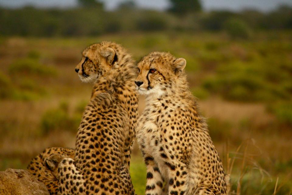 animals cheetah speed cat wild wilderness family grass plants trees nature sky landscape