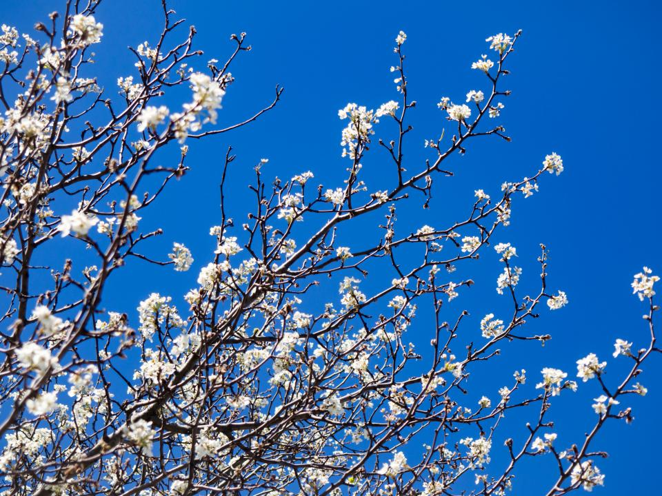 cherry blossoms tree plants nature flowers branch blue sky