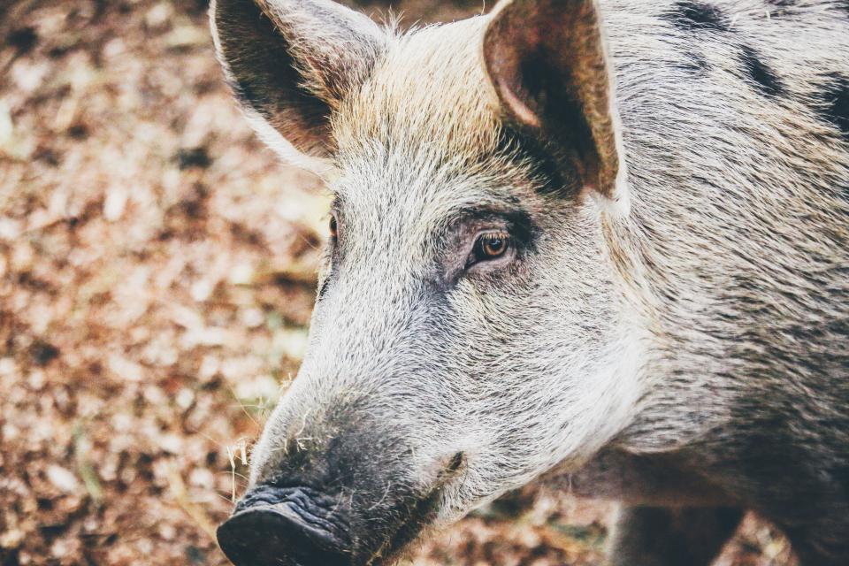 A Dirty Pig