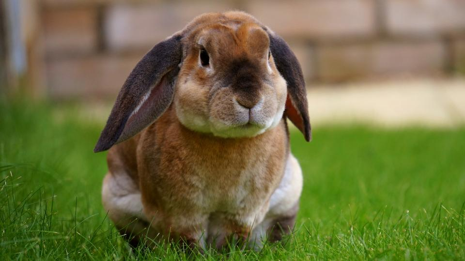 animals mammals rabbits hares furry adorable cute fluffy ears sit grass still bokeh
