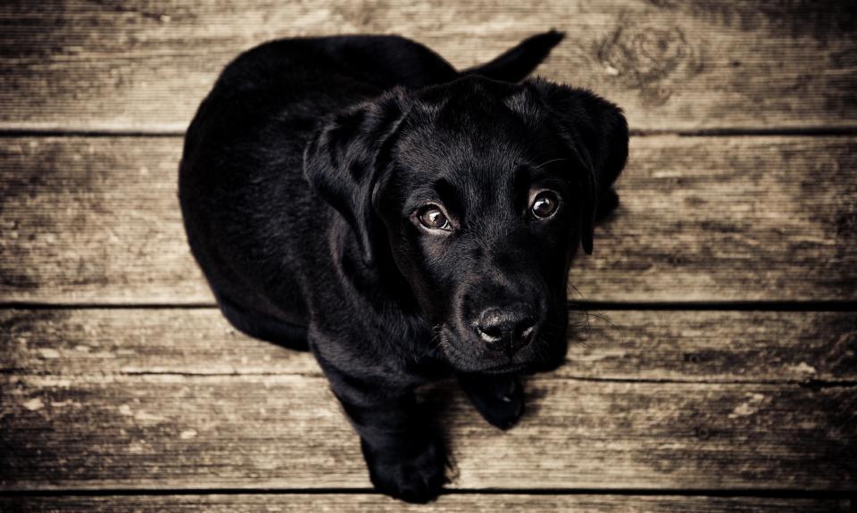 black, dog, puppy, animal, pet, wood