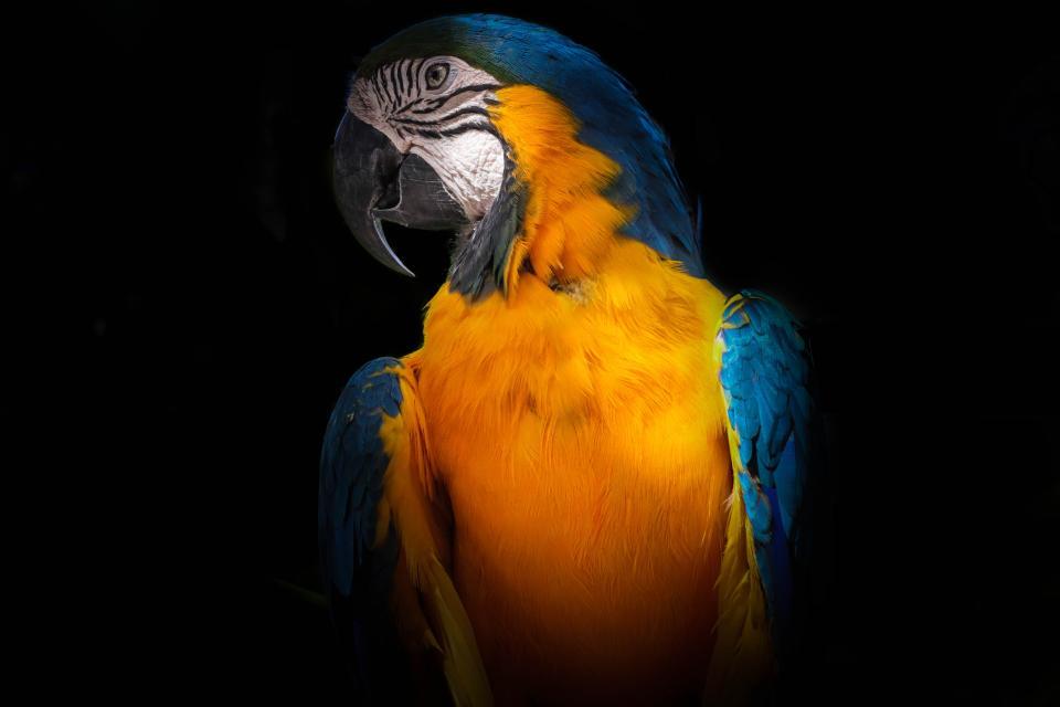 dark, black, colorful, feather, bird, animal, pet