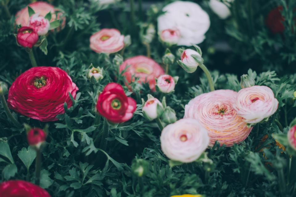 green, leaf, flower, garden, farm, plant, nature, pink, red, roses