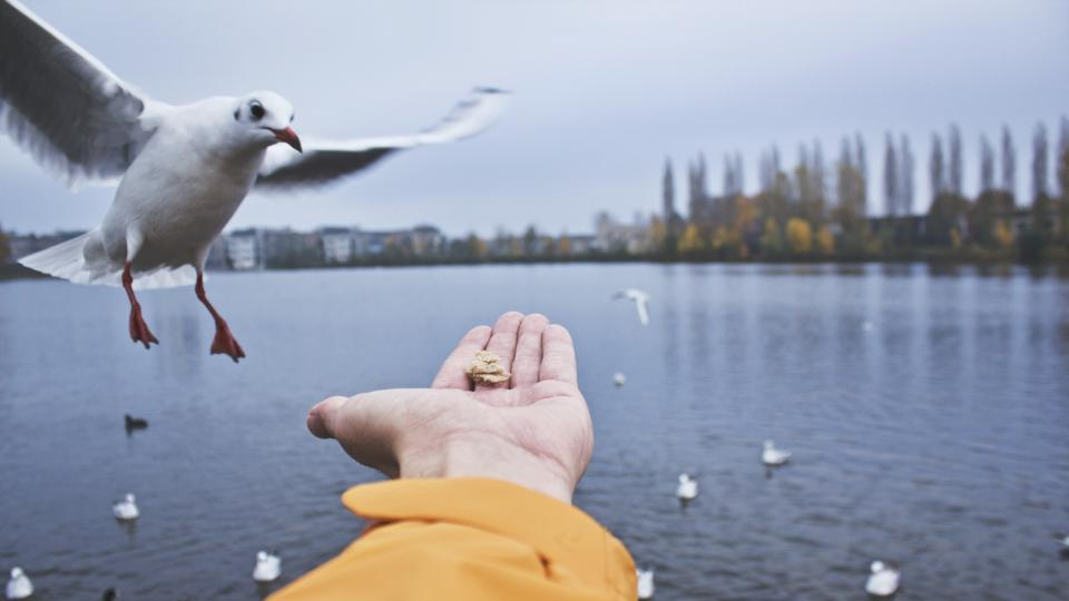 animals, bird, seagull, feather, flying, floating, sea, water, feed, food, plants, trees, sky, clouds, hand
