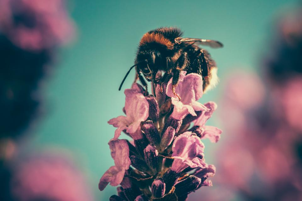 flower, pink, petal, bloom, garden, plant, nature, autumn, fall, macro, close up, pollen, insect, bee