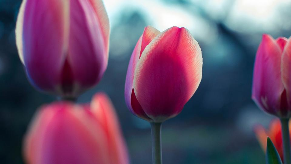 pink, tulip, flower, petal, bloom, nature, plant, blur, garden