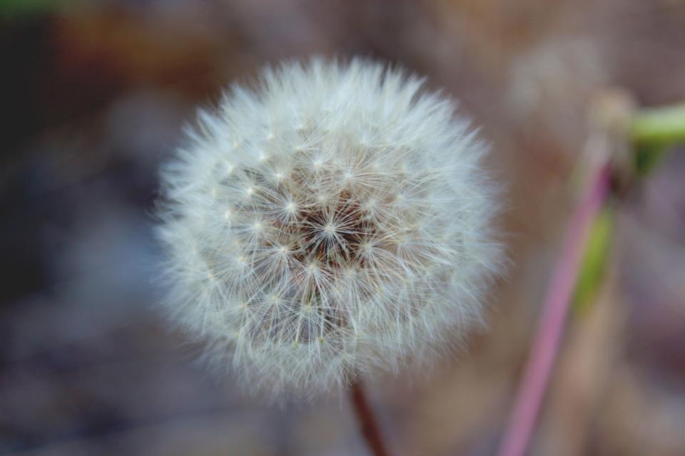summer nature dandelion flower