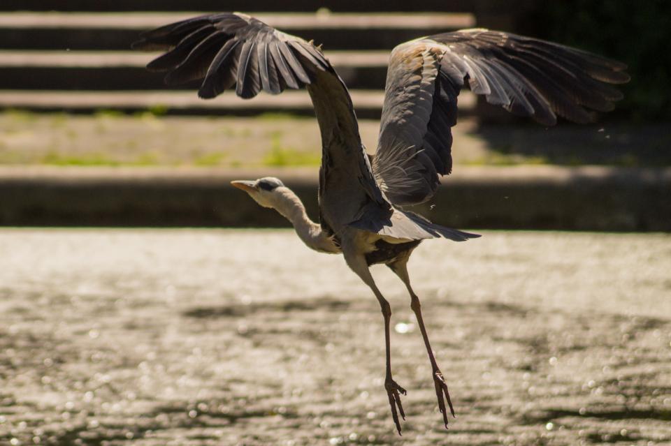 heron, bird, wings, flying, water