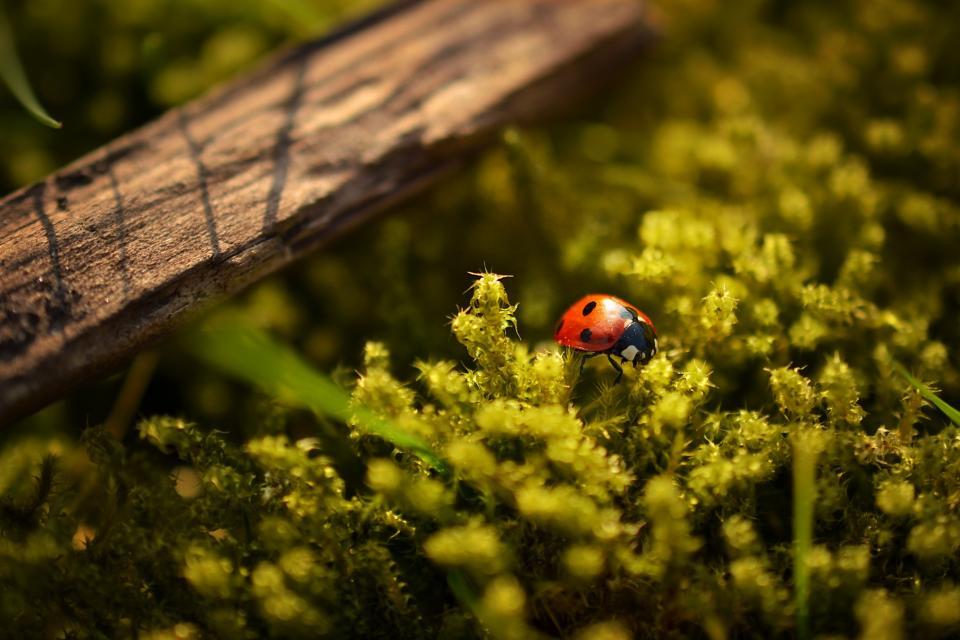 ladybug, ladybird, insect, plants