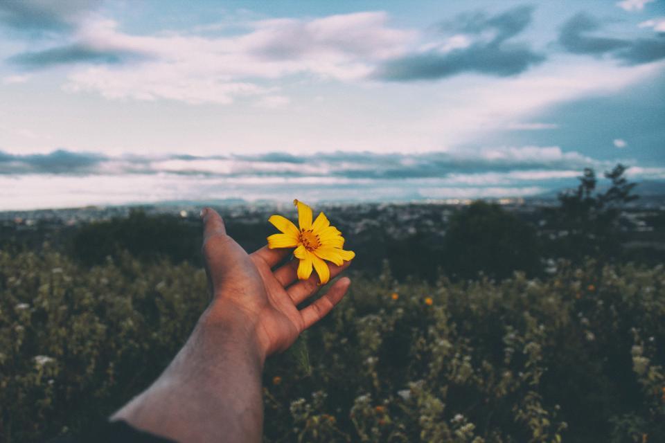 flower, yellow, petal, bloom, garden, plant, nature, autumn, fall, sunflower, hand