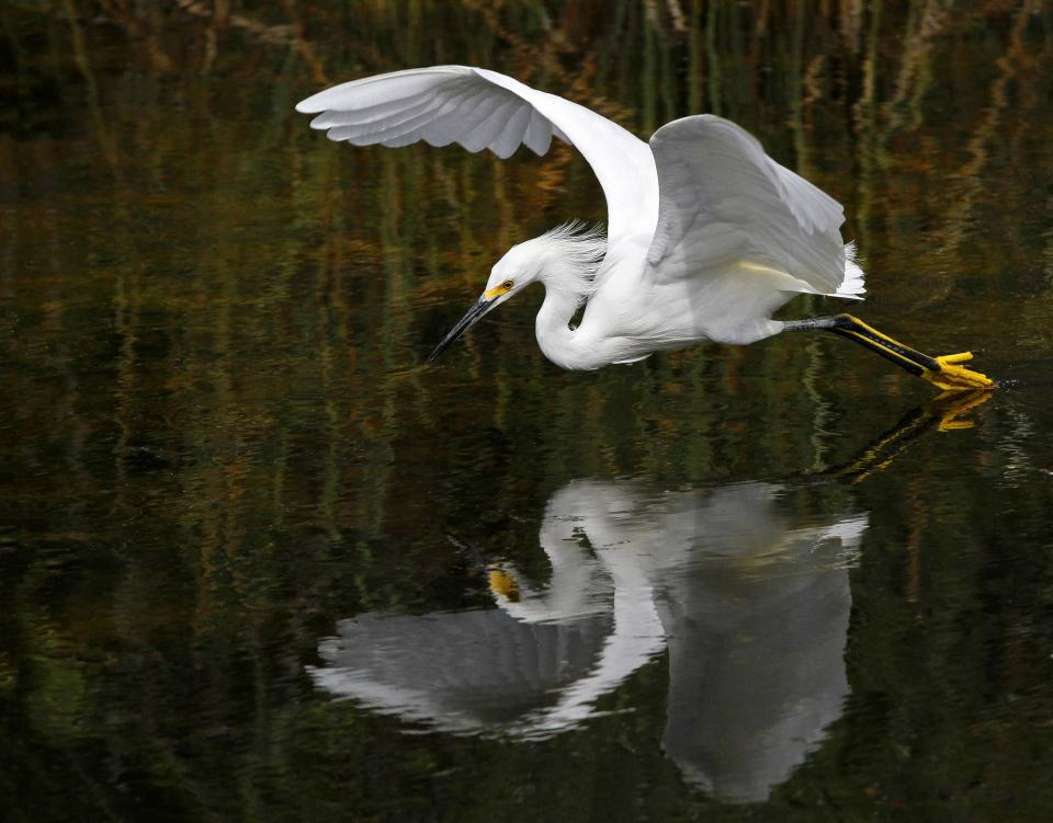 snowy egret, white, bird, animal, fly, water, wet, reflection