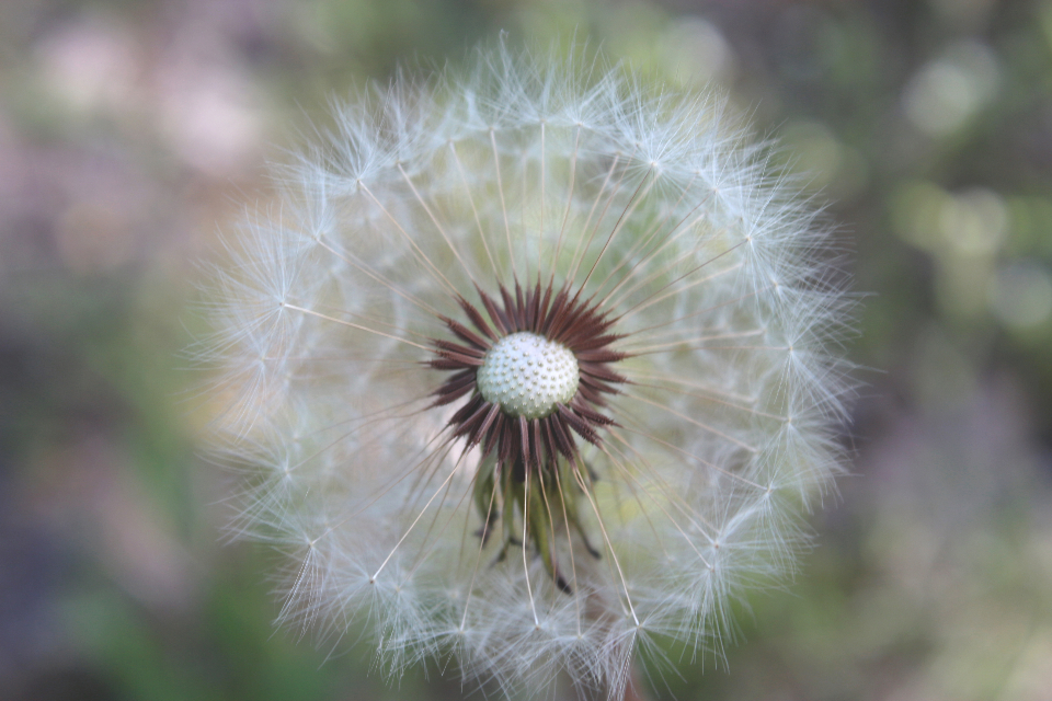 dandelion summer nature flower