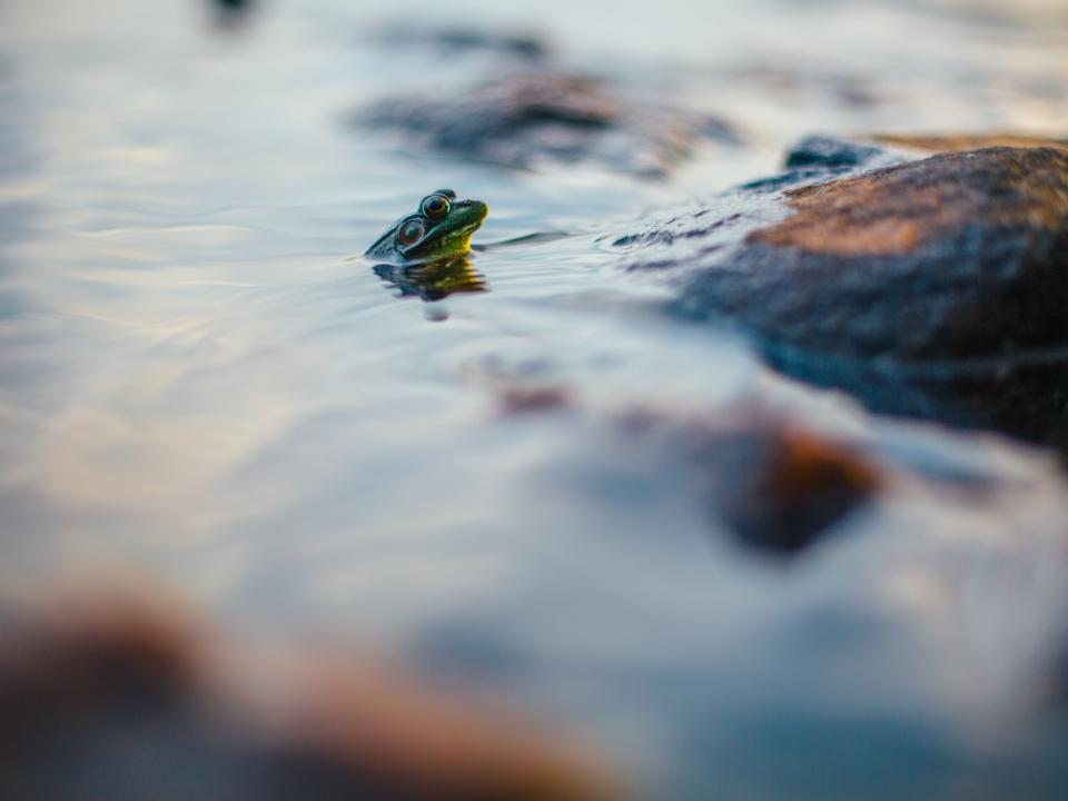 frog, reptile, water, animal, outdoor, nature, blur, rock