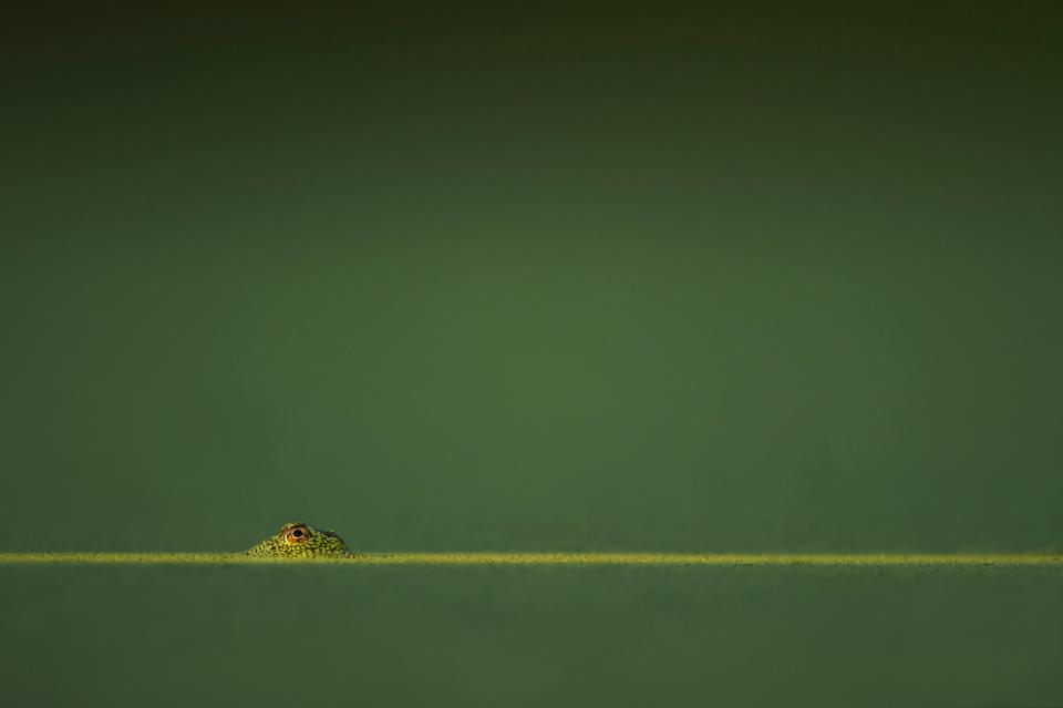 horizon, green, blur, reptile, animal, eye, lizard