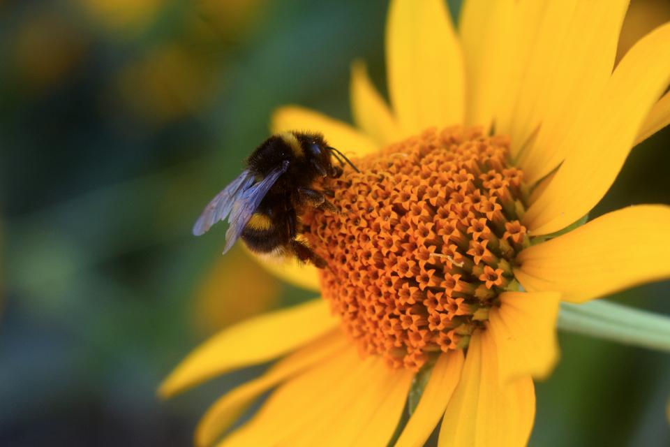 bee flower yellow summer nature macro honey bumble