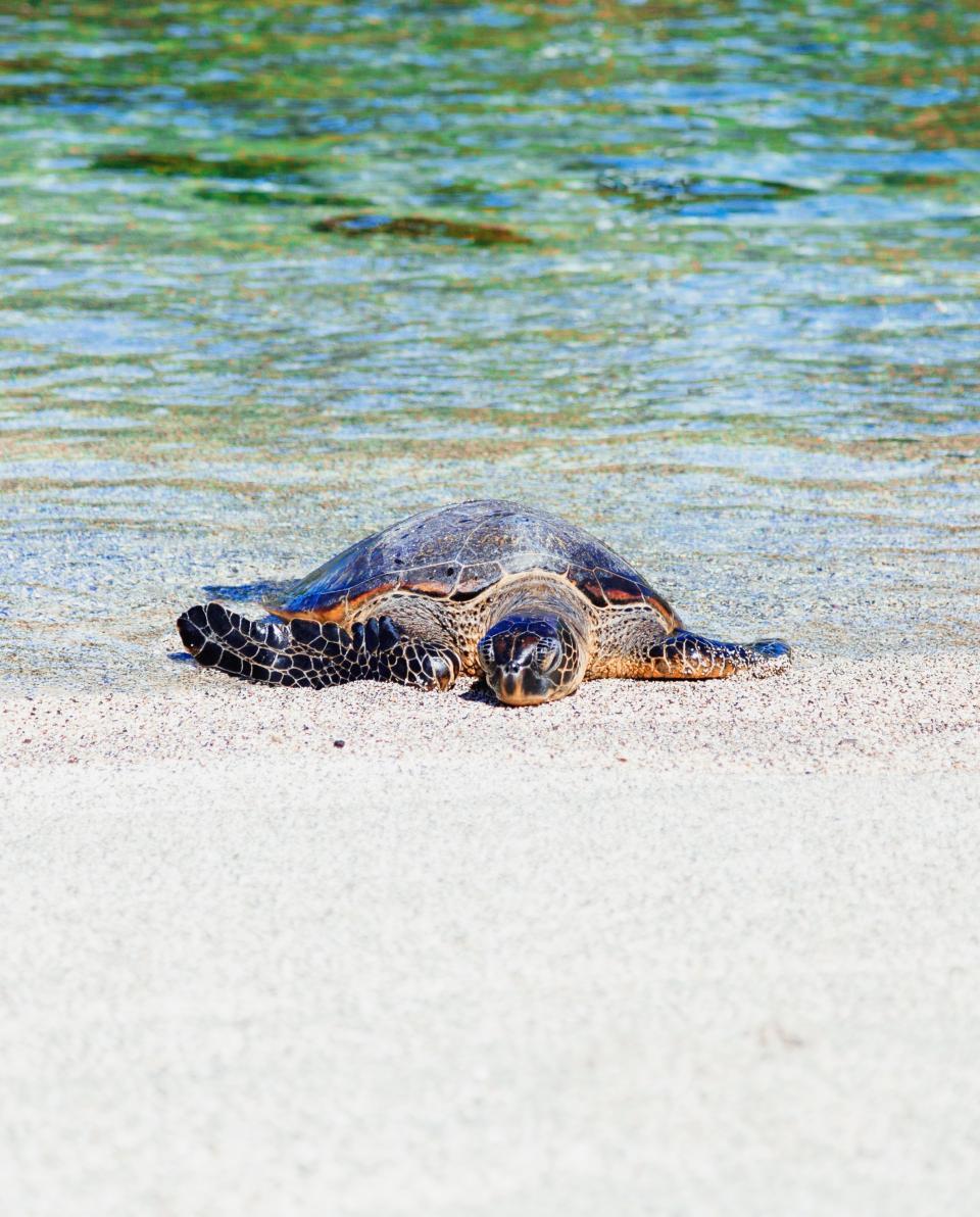 sea, water, turtle, white, sand, beach, shore, coast, nature, reptile, animal