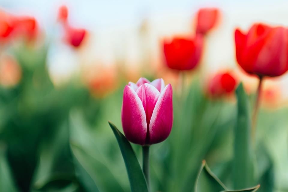 colorful, tulip, green, leaf, garden, farm, field, flower, blur, nature, plant