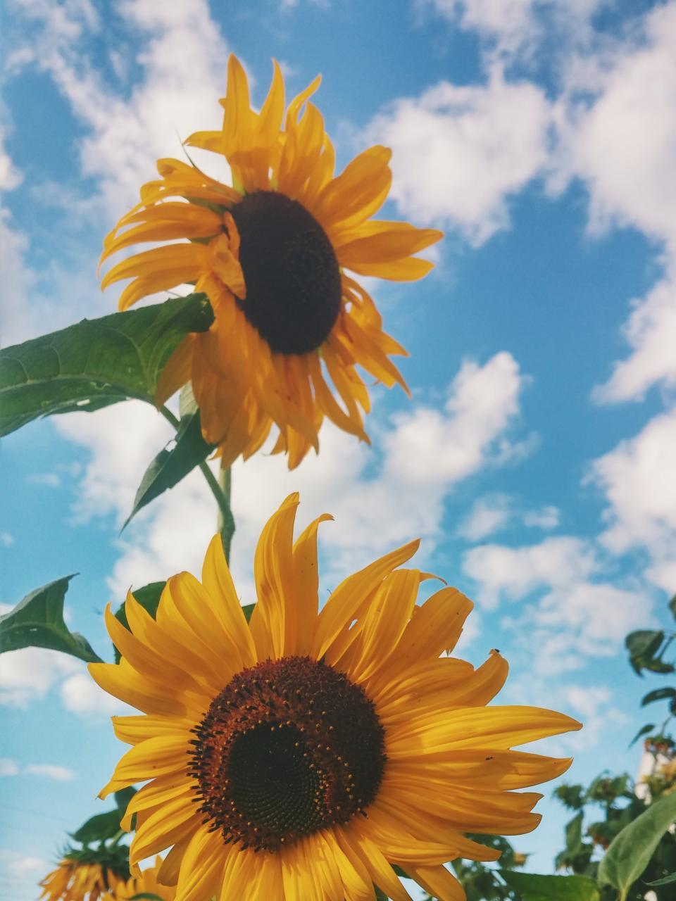 sunflower, yellow, petal, field, farm, garden, nature, plant, blue, sky, cloud