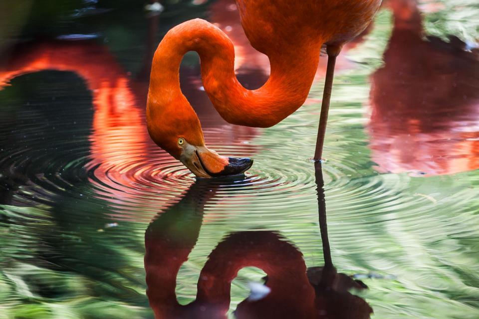 animals, birds, flamingo, beak, beautiful, gorgeous, feathers, stand, leg, water, reflection, ripples, vermillion
