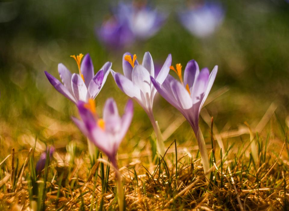 green, grass, purple, flower, petal, bloom, nature, outdoor
