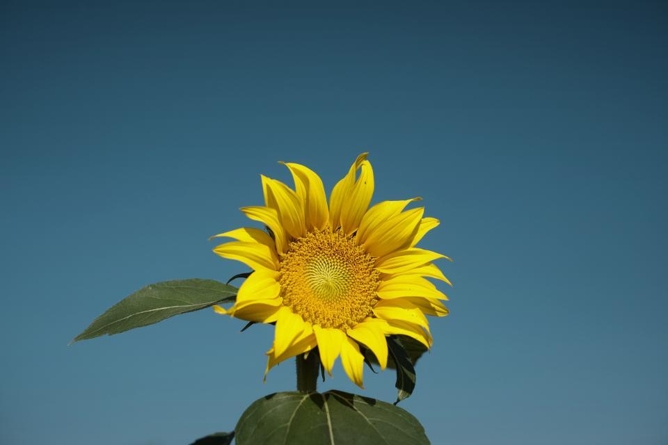 blue, sky, summer, yellow, petals, sunflower, nature, plant, garden, outside