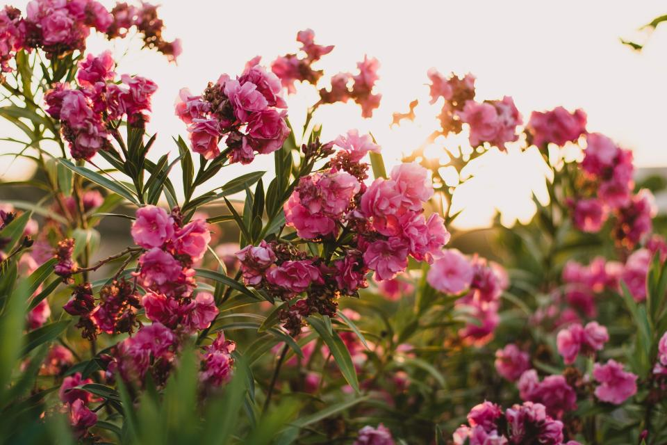 pink flower petals bloom leaves nature plant sunlight sunny sunrise garden field farm