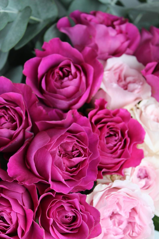 purple, pink, flower, bloom, petal, nature, plant, roses, bouquet, bundle, bunch