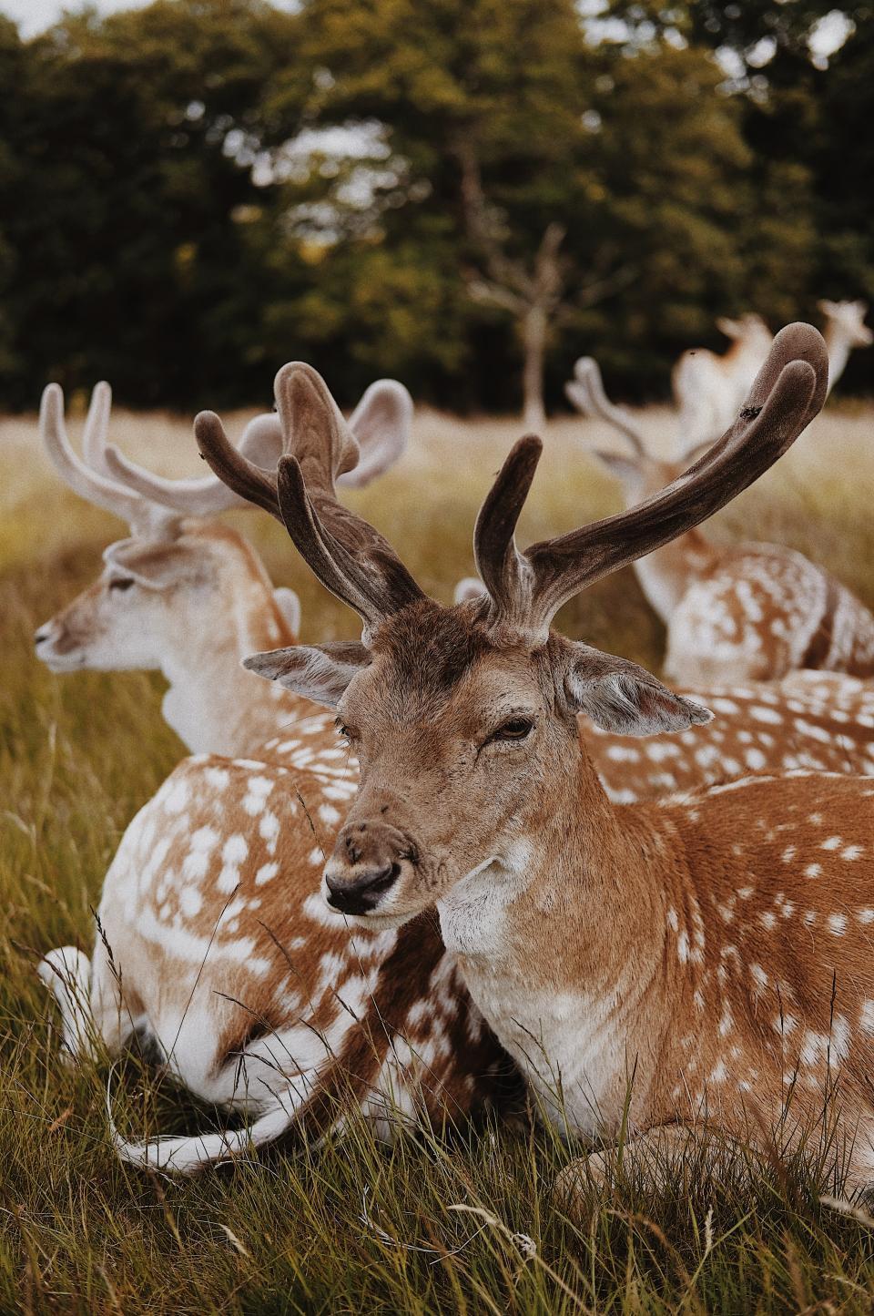 deer animal horn wildlife forest green grass tree outdoor nature herd rest