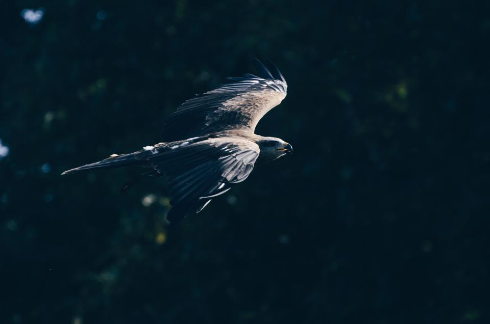animal, bird, eagle, wildlife, outdoor, pet, bokeh, blur, forest, flying, wings