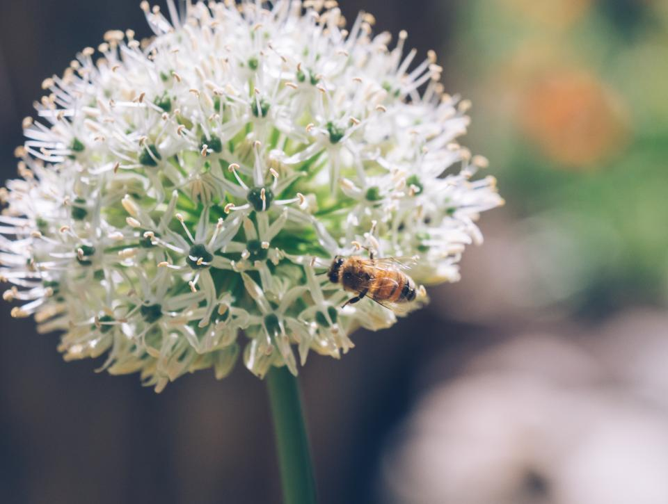 flower, bloom, petal, nature, plant, insect, bee, animal, blur