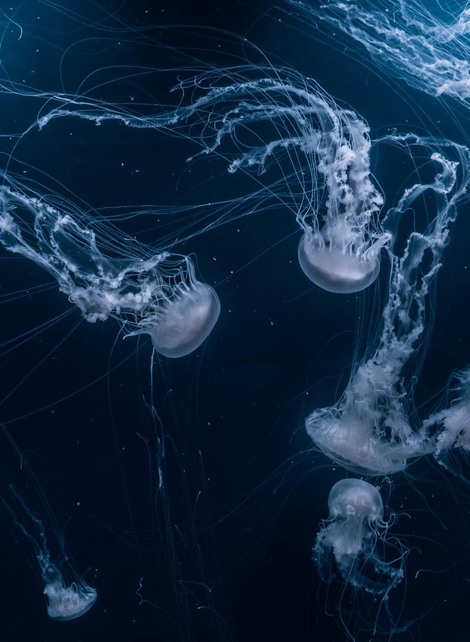 jellyfish, aquatic, animal, ocean, underwater, blue, water