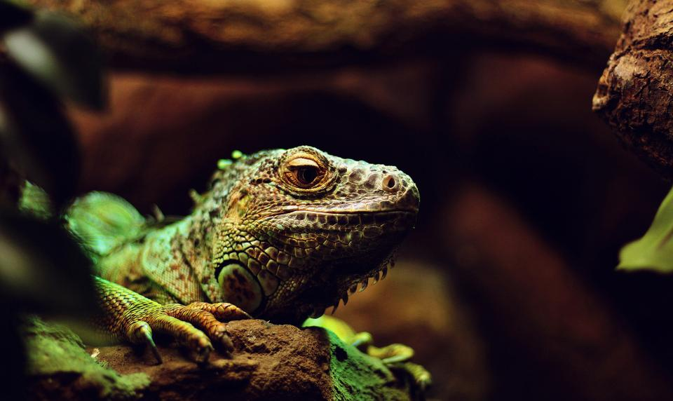 lizard, iguana, reptile, tree, wood, nature, animal