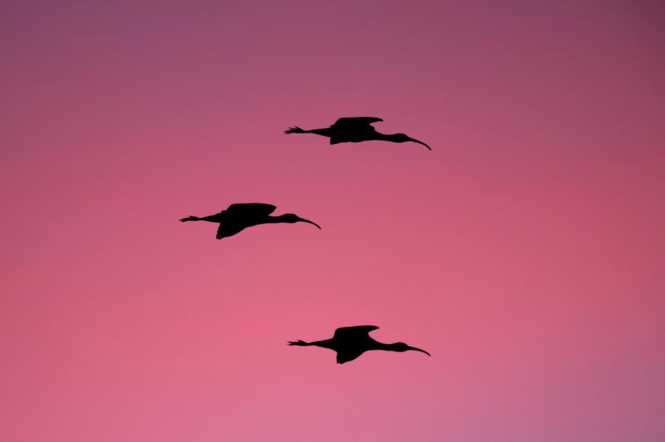 sunset, sky, bird, flying, animal, silhouette